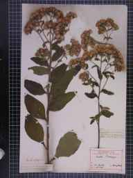 Inula conyzae herbarium specimen from Beaumaris, VC52 Anglesey in 1840 by Dr John Bland Wood.