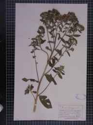 Inula conyzae herbarium specimen from Gumfreston, VC45 Pembrokeshire in 1873 by Mr Charles Bailey.