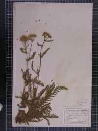 Achillea millefolium herbarium specimen from Oxford, VC22,VC23 in 1920 by Mr George Claridge Druce.
