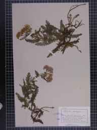 Achillea millefolium herbarium specimen from Borrowdale, VC70 Cumberland in 1882 by Mr Charles Bailey.