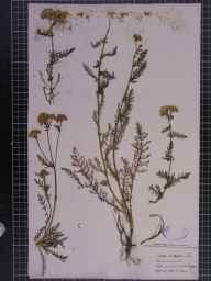 Achillea millefolium herbarium specimen from Sutton Gault, VC29 Cambridgeshire in 1880 by Mr Alfred Fryer.