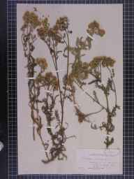 Achillea millefolium herbarium specimen from London, VC17,VC21 in 1875 by Dr Eyre Champion de Crespigny.
