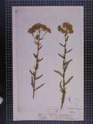 Achillea millefolium herbarium specimen from Fareham, VC11 South Hampshire in 1866 by Mr William Lowndes Notcutt.