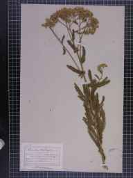 Achillea millefolium herbarium specimen from Totland, VC10 Isle of Wight in 1888 by Mr Charles Bailey.