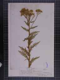 Achillea distans herbarium specimen from Cromford, VC57 Derbyshire in 1863 by Mr J Hardy.