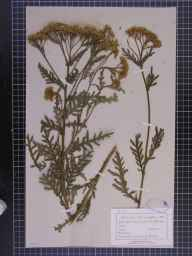 Achillea distans herbarium specimen collected by Mr John Hardy.