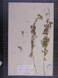 Achillea nobilis herbarium specimen from Gala, VC79 Selkirkshire in 1875 by Mr Andrew Brotherston.
