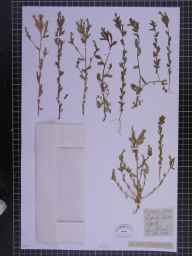 Legousia hybrida herbarium specimen from Barton, VC26 West Suffolk in 1836 by Dame Louisa Blake.