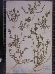 Legousia hybrida herbarium specimen from Teddington, VC33,VC37 in 1841 by Dr Robert Southey Hill.