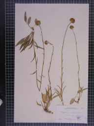Phyteuma orbiculare herbarium specimen from Selsdon, VC17 Surrey in 1882 by Dr Eyre Champion de Crespigny.