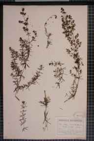 Galium verum x mollugo = G. x pomeranicum herbarium specimen from Wood Walton, VC31 Huntingdonshire in 1904 by Mr George Claridge Druce.