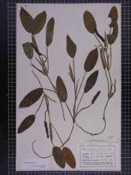 Potamogeton natans herbarium specimen from Wavertree, VC59 South Lancashire in 1858.