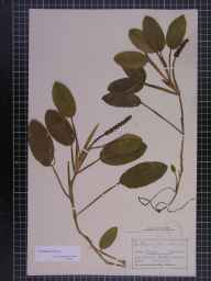 Potamogeton natans herbarium specimen from Saltwick, VC62 North-east Yorkshire in 1875 by Mr Charles Bailey.