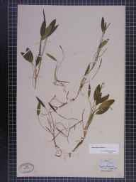 Potamogeton natans herbarium specimen from Yeadon, VC64 Mid-west Yorkshire in 1855 by Dr Benjamin Carrington.