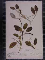 Potamogeton natans herbarium specimen from Ingleborough, VC64 Mid-west Yorkshire in 1857 by Mr  Fletcher.