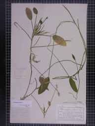 Potamogeton natans herbarium specimen from Cong, VCH16,VCH26 in 1885 by Mr Charles Bailey.