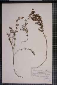 Galium verum x mollugo = G. x pomeranicum herbarium specimen from Wembury, VC3 South Devon in 1875 by Mr Thomas Richard Archer Briggs.