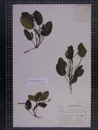 Potamogeton polygonifolius herbarium specimen from Moel y Parc, VC51 Flintshire in 1879 by Mr John Harbord Lewis.