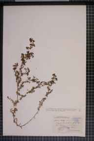 Galium verum x mollugo = G. x pomeranicum herbarium specimen from Bigbury, VC3 South Devon in 1894 by Rev. Edward Shearburn Marshall.