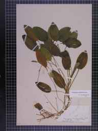 Potamogeton polygonifolius herbarium specimen from Dersingham Fen, VC28 West Norfolk in 1894 by Mr Alfred Fryer.