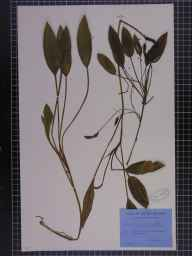 Potamogeton polygonifolius herbarium specimen from Dalmellington, VC75 Ayrshire in 1949 by George Taylor.