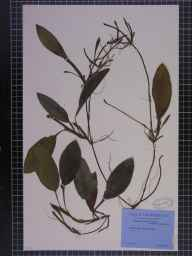 Potamogeton coloratus herbarium specimen from Farnham, VC64 Mid-west Yorkshire in 1944 by George Taylor.