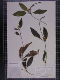 Potamogeton coloratus herbarium specimen from Thornton-le-Street, VC62 North-east Yorkshire in 1882 by Mr George Nicholson.
