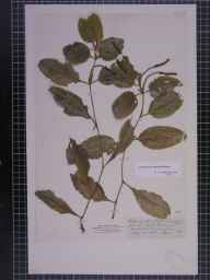 Potamogeton coloratus herbarium specimen from Hell Kettles, VC66 County Durham in 1865 by Mr James Ward.