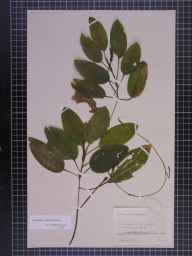 Potamogeton coloratus herbarium specimen from Witchford, VC29 Cambridgeshire in 1892 by Mr Alfred Fryer.