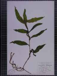 Potamogeton lucens herbarium specimen from Haughton Green, VC59 South Lancashire in 1948 by A Croker.