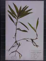 Potamogeton lucens herbarium specimen from Reddish, VC59 South Lancashire in 1948 by A Croker.
