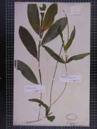 Potamogeton lucens herbarium specimen from Rostherne, VC58 Cheshire by Dr John Bland Wood.