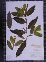 Potamogeton lucens herbarium specimen from Pevensey, VC14 East Sussex in 1891 by Chenevix-Trench.