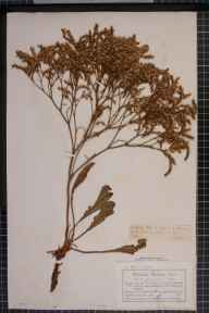 Limonium vulgare x humile = L. x neumanii herbarium specimen from Glan Conway, VC50 Denbighshire in 1887 by Mr Charles Bailey.