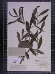Potamogeton lucens herbarium specimen from Ashe, VC36 Herefordshire in 1889 by Rev. Augustin Ley.