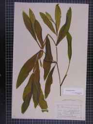 Potamogeton lucens herbarium specimen from Goodrich, VC36 Herefordshire in 1875 by Mr Charles Bailey.