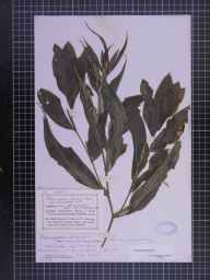 Potamogeton lucens herbarium specimen from Leicester, VC55 Leicestershire in 1884 by Mr Frederick Thompson Mott.
