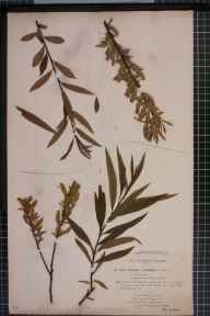 Salix x mollissima var. hippophaefolia herbarium specimen from River Wye, VC36 Herefordshire in 1894 by Rev William Richardson Linton.