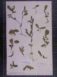 Potamogeton gramineus herbarium specimen from Witcham, VC29 Cambridgeshire in 1887 by Mr Alfred Fryer.