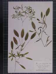 Potamogeton gramineus herbarium specimen from Whittlesea, VC29 Cambridgeshire in 1888 by Mr Alfred Fryer.