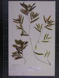 Potamogeton gramineus herbarium specimen from Ramsey, VC31 Huntingdonshire in 1888 by Mr Alfred Fryer.
