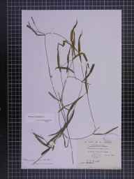 Potamogeton gramineus herbarium specimen from Navan, VCH22 Meath in 1885 by Rev. Edward Francis Linton.