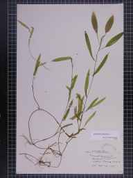 Potamogeton gramineus herbarium specimen from Pidley Fen, VC31 Huntingdonshire in 1891 by Mr Alfred Fryer.
