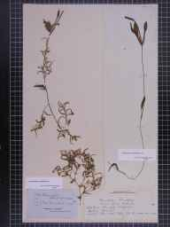 Potamogeton gramineus herbarium specimen from Duns Dish, VC90 Angus in 1839 by Mr Alexander Croall.