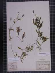 Potamogeton gramineus herbarium specimen from Pirbright, VC17 Surrey in 1881 by Mr Arthur Bennett.