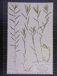 Potamogeton trichoides x crispus = P. x bennettii herbarium specimen from Grangemouth, VC86 Stirlingshire in 1897 by John Stirling Stirling.
