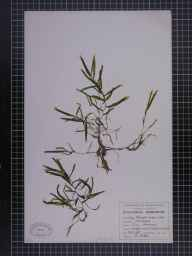 Potamogeton crispus herbarium specimen from Reddish, VC58 Cheshire in 1948 by A Croker.