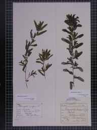 Potamogeton crispus herbarium specimen from Silverdale, VC60 West Lancashire in 1873 by Mr John Barrow.