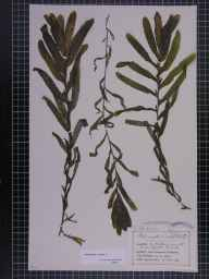 Potamogeton crispus herbarium specimen from Dovedale, VC57 Derbyshire in 1905 by Mr Charles Bailey.