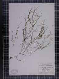 Potamogeton pectinatus herbarium specimen from Reddish, VC58,VC59 in 1948 by A Croker.